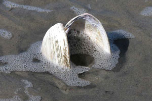 RI state shell, the quahog