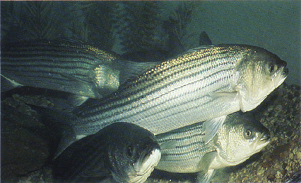 RI state fish, the striped bass